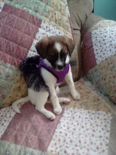 Rhea (Mixed Breed) - tricolor puppy with mostly white fur wearing a black tutu