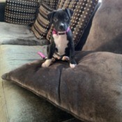 Is My Dog a Full Blooded Pit Bull? - black and white puppy on the couch