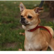 What Is My Chihuahua Mixed With? -light brown and white dog
