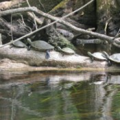 A row of turtles on a log in Florida.