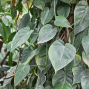 A philodendron scandens vine with green heart shaped leaves.