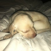 Caring for a 5 Week Old Yellow Lab - sleeping puppy
