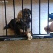 Is My Dog a Chihuahua? - black and tan dog behind a baby gate