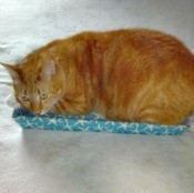 Tae (as in Tae Bo - Orange Tabby) - beautiful orange tabby lying in a shallow blue and white lid or shallow container