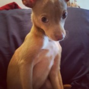 What Is My Chihuahua Mixed With? - cute light brown Chihuahua