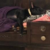 Sassy (Chocolate Lab/Chow Mix) - sleeping puppy