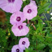 Morning Glories Growing Wild - pretty purple morning glories