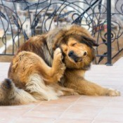 A dog scratching his ears outside.