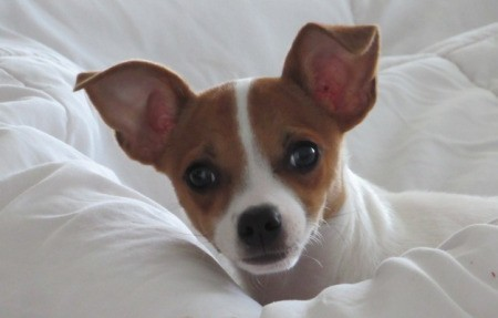 Jack (Chihuahua) - head and shoulder of a brown and white Chihuahua lying on a white backgroung