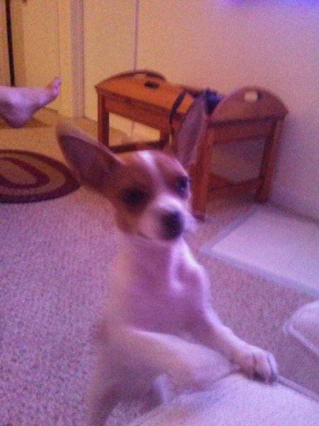 Jack (Chihuahua)