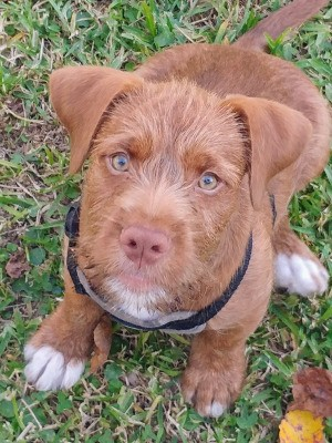What Breed Is My Dog Mixed With? - reddish brown puppy with fuzzy hair on face