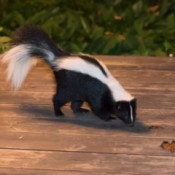 Skunk on deck.