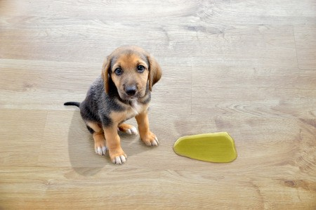 Puppy next to a puddle on laminate floors.