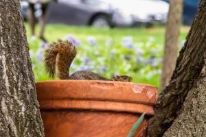 Squirrel in clay pot.