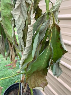 Leaves on My Avocado Tree Turning Brown - drooping leaves with brown edges