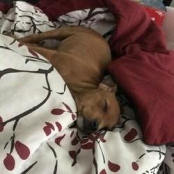 9 Week Old Puppy Won't Sleep Alone - puppy sleeping on a bed