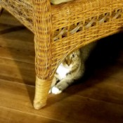 Connor Allen (Tiger Stripe Cat) - cat under a rattan chair or couch