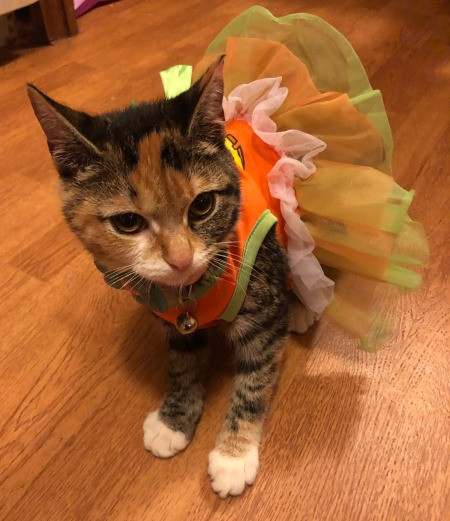 Caring for a Blind Kitten - tabby cat wearing a tutu