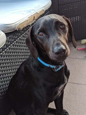 What Breed Is My Dog? - brown dog with long thin ears