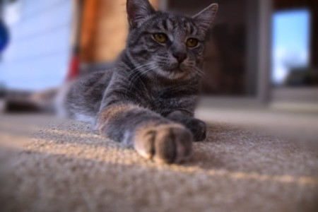 Smokey (American Shorthair) - grey and black tabby cat