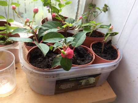 Recycle Plastic Tubs to Hold Cuttings - small plastic pots containing plant cuttings inside a plastic tub
