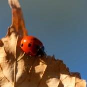 A ladybug on a brown leaf.
