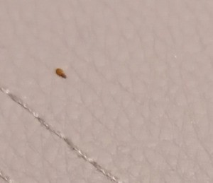 Identifying Bugs on New Bed - brown bug