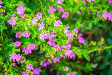 Flowering Mexican heather.