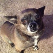 What's My Chihuahua Mixed With? - brown dog with some black on face