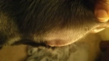 Dog Losing Hair Around His Ears