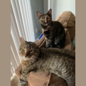 What Breed Are My Cats? - tabby and tortie coated short hair cate