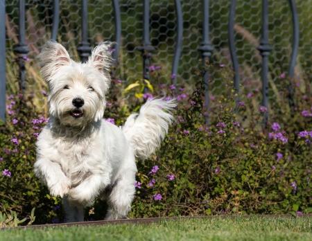 Westie running in a yard