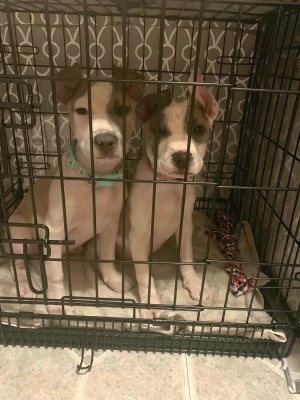 Are My Pit Bull Puppies Mixed Breed? - two puppies in a wire crate