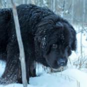 black dog in the snow