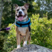Is My Dog a Pit Bull? - tan and white dog standing on a rock