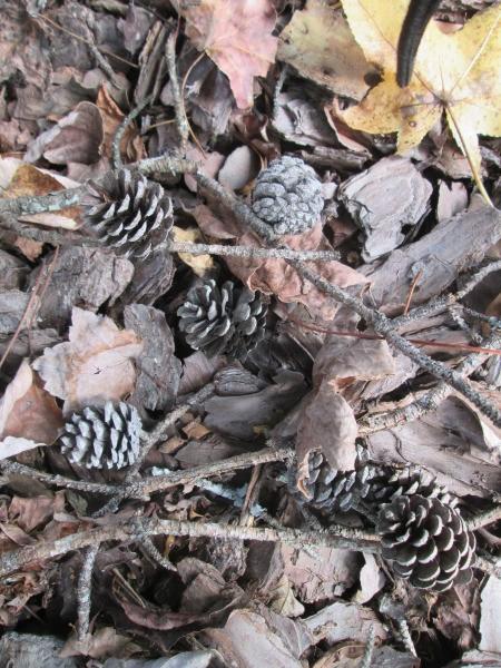 Pine Cone Vase - ground litter including pine cones