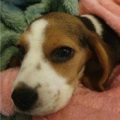 Recovery Time for a Puppy with Parvo - puppy under a blanket