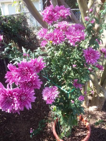 Always Have Hope - Rescued Plant - blooming dark pink mum