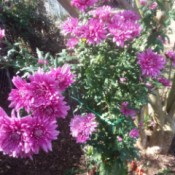 Always Have Hope - Rescued Plant - blooming dark pink mum