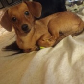 Is My Dog a Chiwienie? - small brown dog perhaps a Dachshund mix