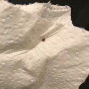 Identifying Small Brown Bugs - bug on paper towel