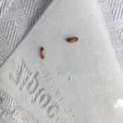 Identifying Small Brown Bugs - tan and brown bugs