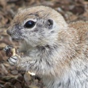 """Gotcha"" (Chipmunk) - closeup"