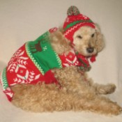 Scooter (Cockapoo) - dog wearing a Christmas coat and hat