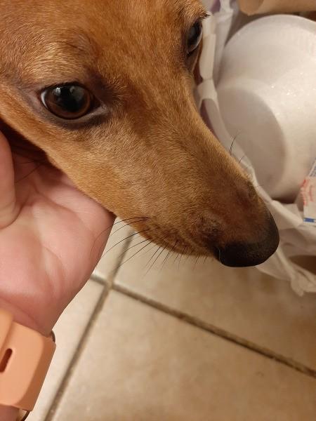Identifying Bumps on a Dog - dog's nose