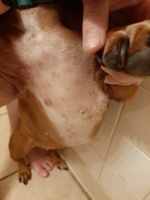 Identifying Bumps on a Dog - dog's belly