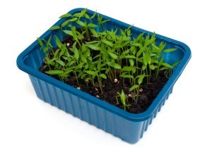 Seedlings in a recycled plastic container.