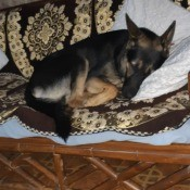 Is My Dog a Pure Bred German Shepherd? - dog curled up asleep