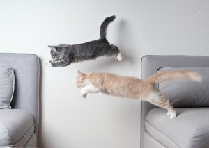 Two cats jumping from one couch to another.