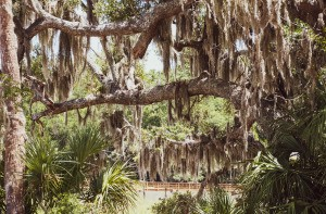 Spanish moss hanging from trees.